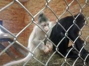 купите уникальную обезьянку