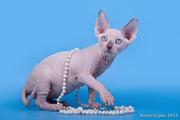 Породистые котята сфинкс